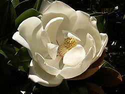 250px-magnolia_grandiflora1stuart_yeates.jpg