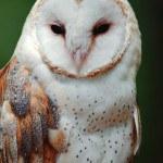 wildlife_barn_owl-150x150.jpg