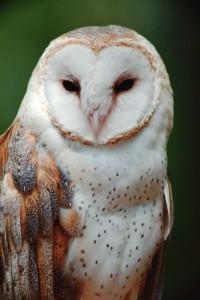wildlife_barn_owl-200x300.jpg