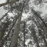 bosque-de-eucaliptos-150x150.jpg