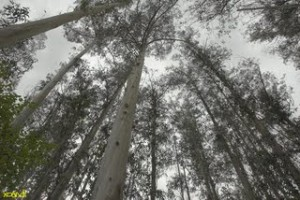 bosque-de-eucaliptos