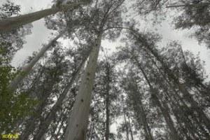 bosque-de-eucaliptos-300x200.jpg