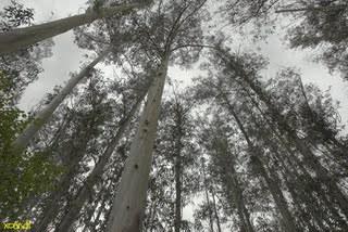 bosque-de-eucaliptos.jpg