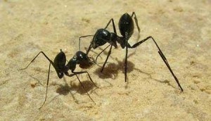 hormigas-300x172.jpg