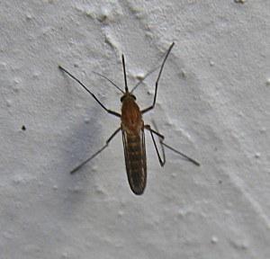 mosquito2-300x288.jpg