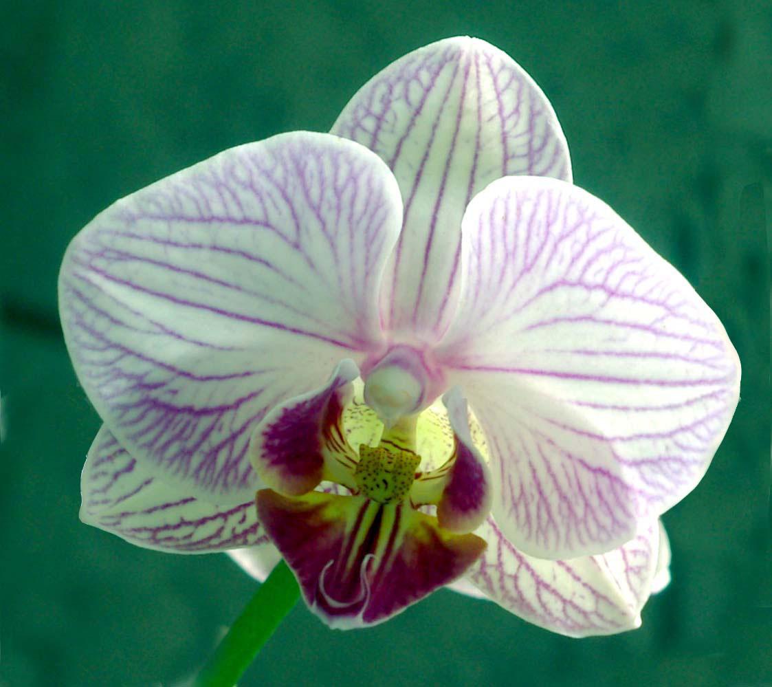 orquidea1.jpg